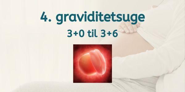 gravid uge 4